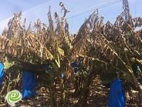 נזקים של למעלה מ-14 מליון ₪ נגרמו לחקלאים