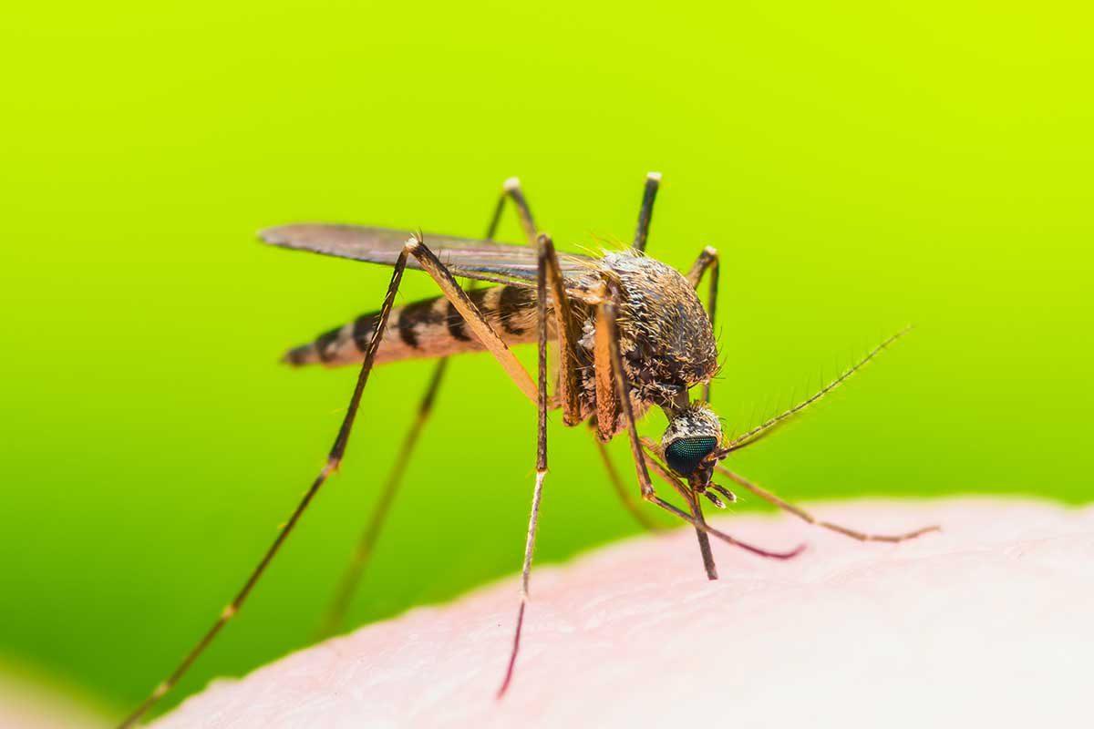 משתגעים מהיתושים? עונת הדגירה של היתושים, בעיצומה