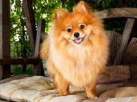 למה לבחור דווקא בכלב פומרניין מכל סוגי הכלבים?